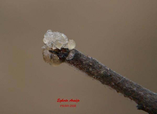 Isso aí é a flor do umbuzeiro, brotando. A foto é de Egberto Araújo.