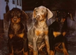 tres_cachorros