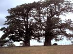 Os baobás da Lagoa do Piató, em Assu-RN.